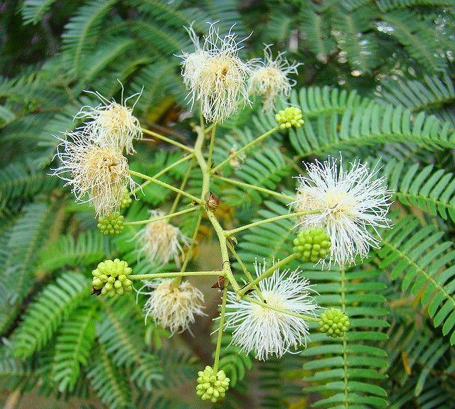 Comprar Sementes Maricá (Mimosa bimucronata) na Toca do Verde!