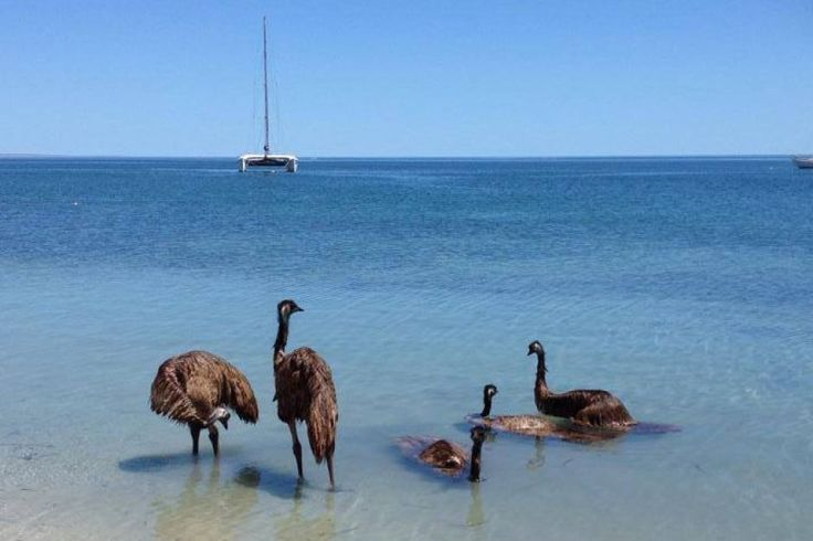 Emus taking a dip at Monkey Mia