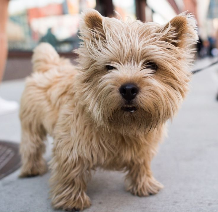 """Boris, Norwich Terrier (4 y/o), Lafayette & Bleecker, New York, NY • """"He's a native New Yorker and a Buddhist – Borisattva – he loves and is concerned with everybody equally."""""""