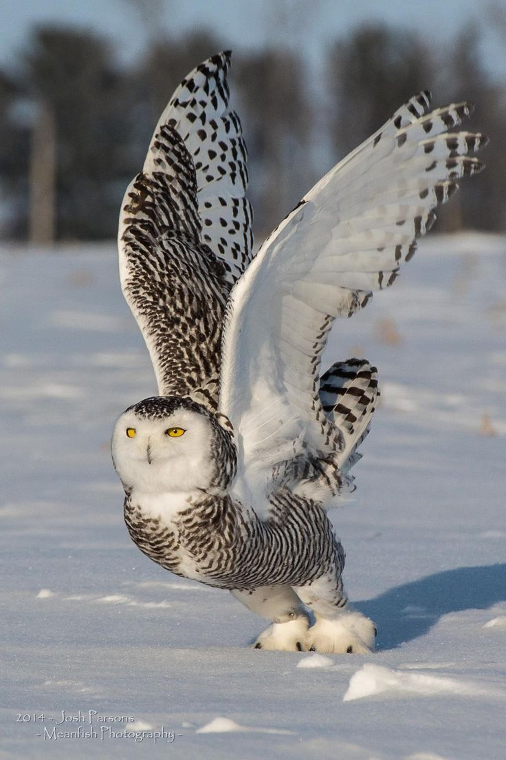Snowy Owl - Taking Off