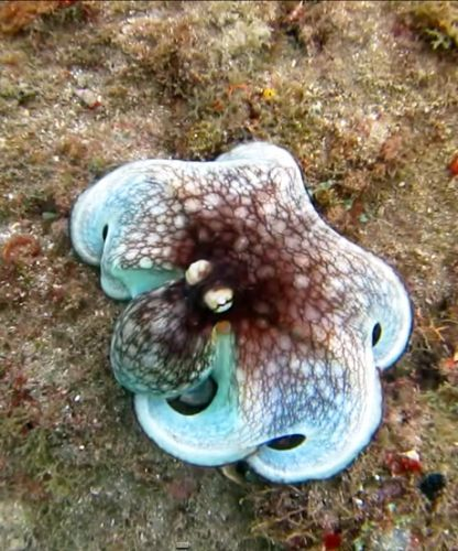 WATCH: Invisible Octopus Dramatically Reveals Herself In ...