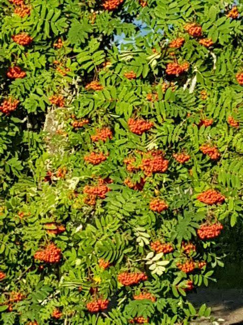 Takalo-Roppolan puutarha- ja mansikkatila: ASKARTELUKIRJA ARVOTTU