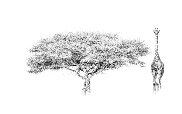 The iconic image of Africa in BW. Acacia tree with a giraffe in a black and white print by wildlife photographer Dave Hamman