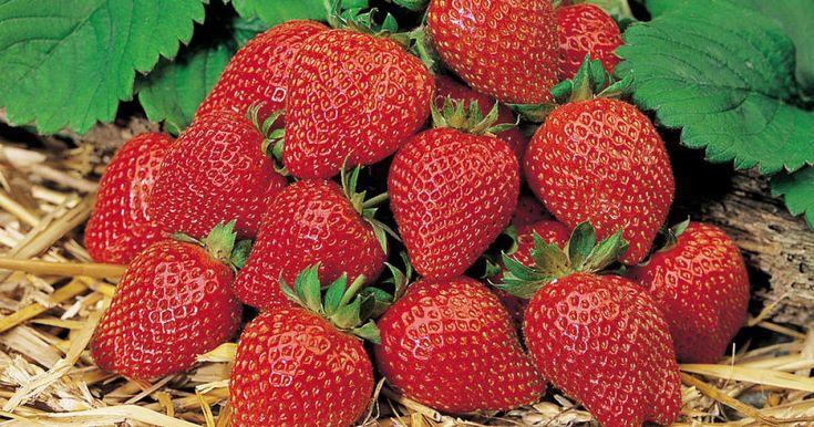 Frische Erdbeeren aus dem eigenen Garten sind besonders lecker und gesund. Wer eine größere Anzahl mehrmals tragender Monats-Erdbeeren anbauen möchte, sollte die Pflanzen am besten selbst aussäen.