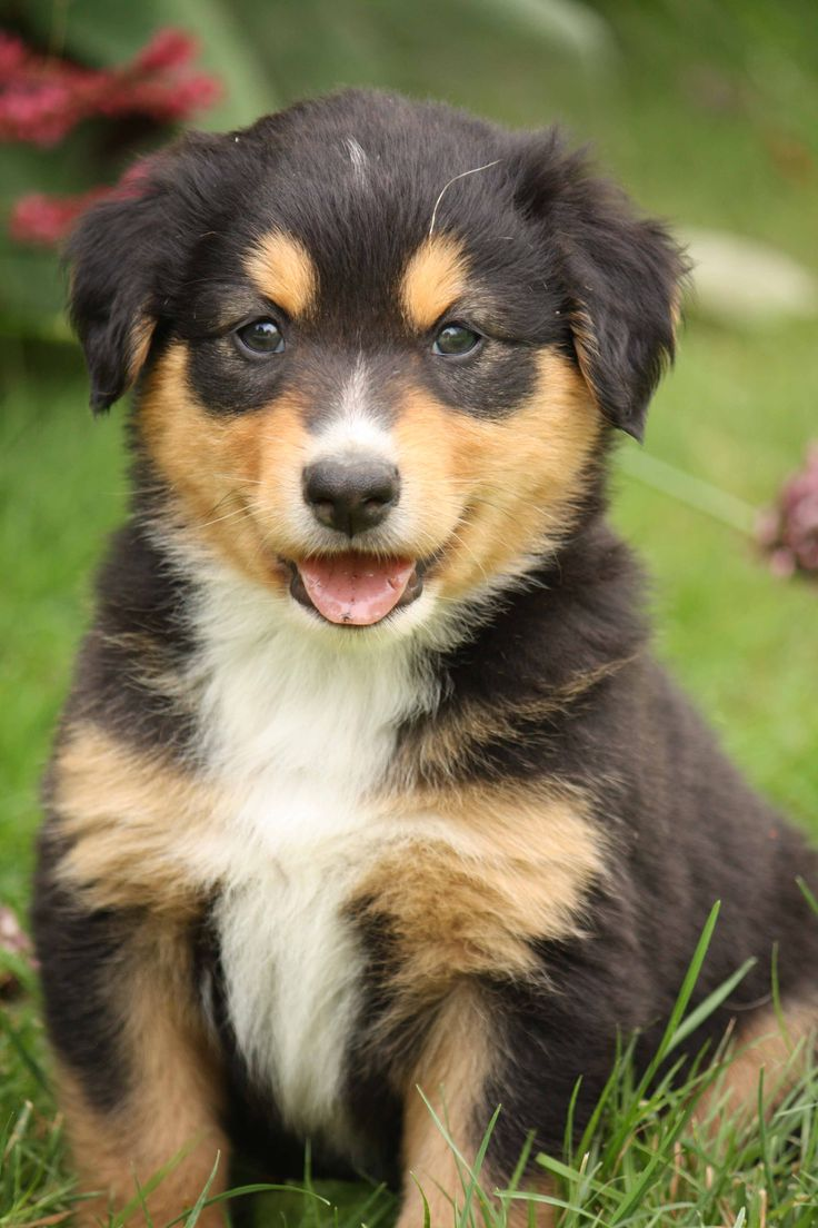 English Shepherd - http://dogpalnet.com/list-of-dog-breeds/english-shepherd/english-shepherd/