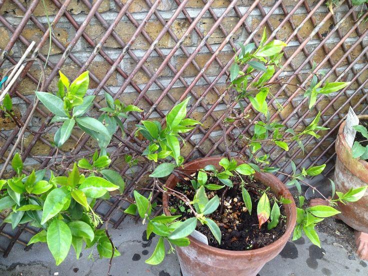 17 best Flowers Jasmine images on Pinterest Jasmine plant
