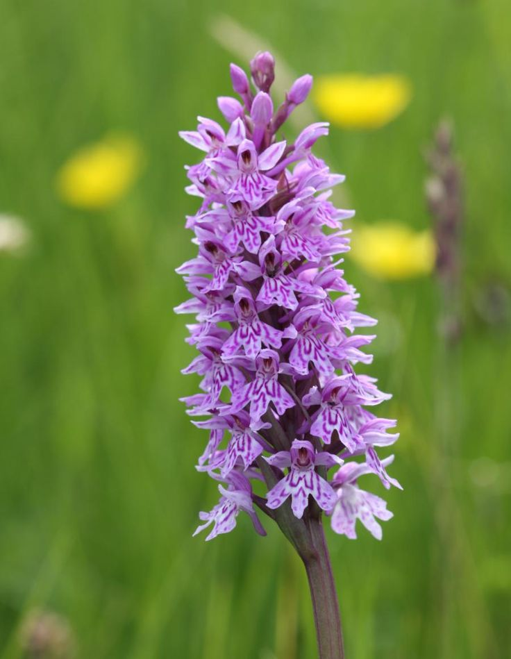 Dactylorhiza fuchsii, Common Spotted Orchid In Britain it