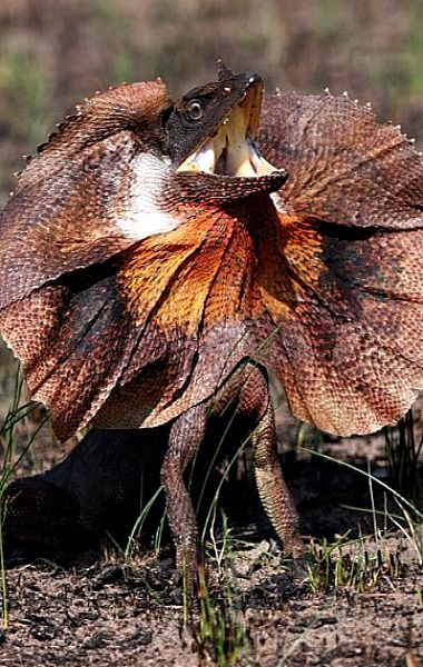 Frilled Lizard (video) - I have seen this lizard run across my TV screen countless time on the National Geographic special and it always make me laugh.