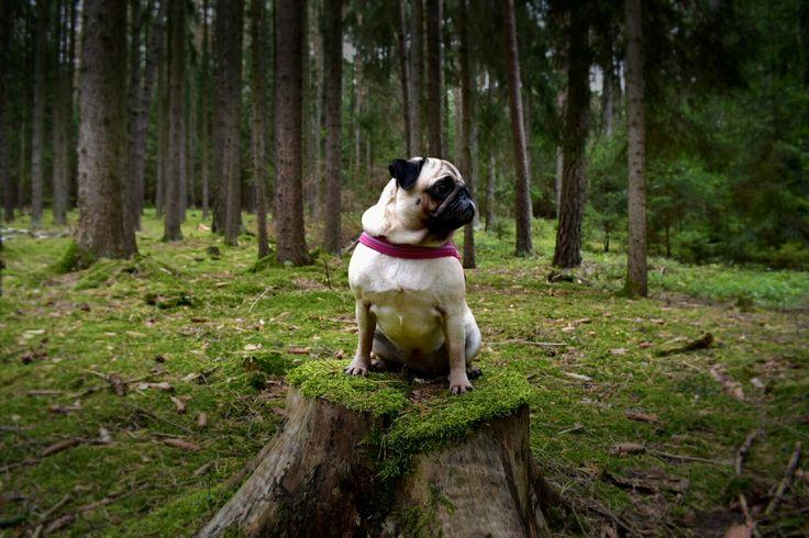 Mops v lese Pug Žofie
