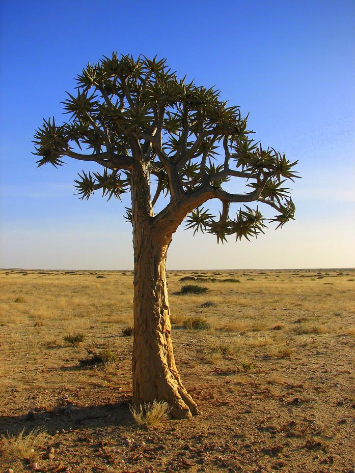 The Quiver Tree ... As the world warms, many plants and animals are struggling to adapt