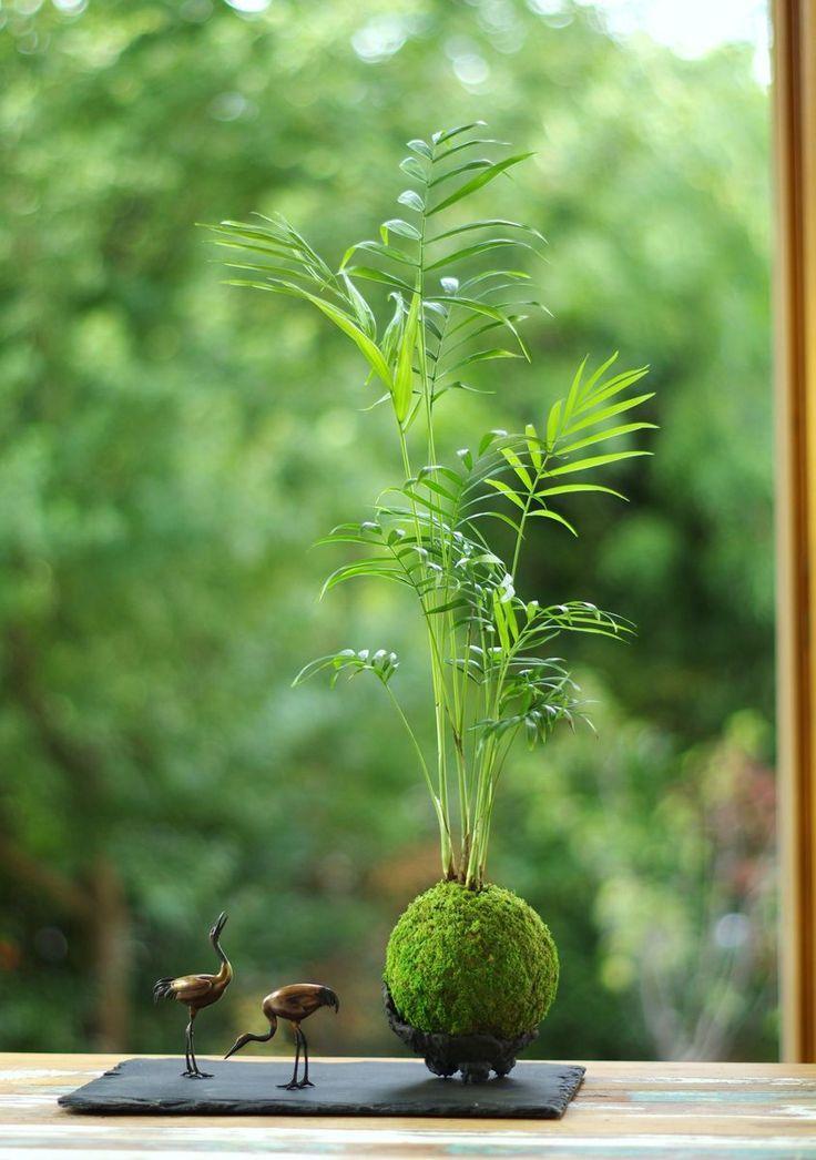 Le Kokedama naît de plusieurs techniques ancestrales japonaises, il présente nos plantes de façon très originale dans une sphère de mousse naturelle.