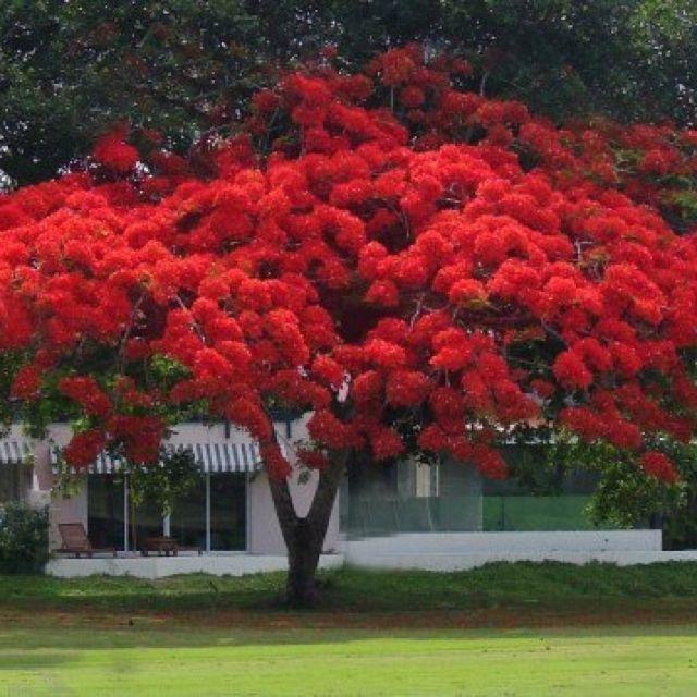 Flamboyán  Rojo - uno de los árboles más bonitos de Puerto Rico