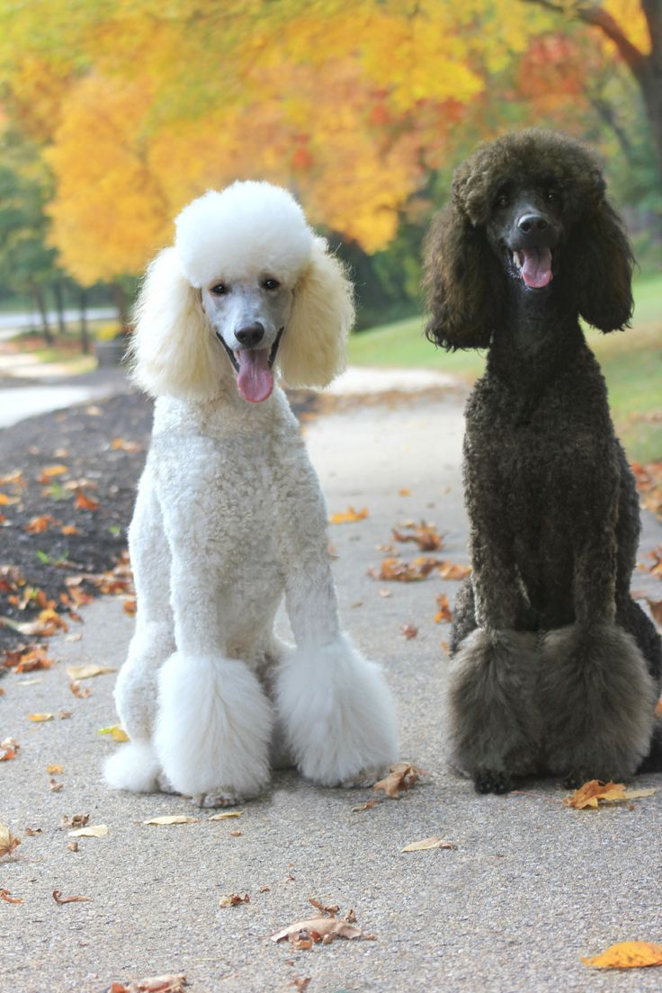 Standard poodle haircuts or of unless soft haircuts standard poodle -  Autumn Poodles Deja Vu And Miss Mercy French Poodlesstandard
