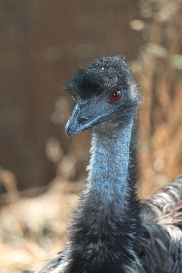 Un saludo de nuestro emu en las instalaciones del Parque Zoológico Ornitológico de Avifauna