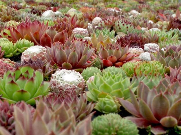 Hens And Chicks Succulents   Garden Design