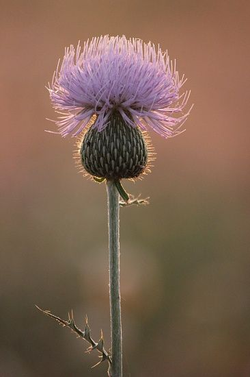 Scottish Thistle. my ex was from there and called me his wee thistle, small and prickly LOL Bout right!