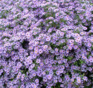 .: Colors Purple, Perennials Plants, Purple Flowers, Front Yard, Beautiful Flowers, English Countryside, Cut Flowers, Little Flowers, Gardens Growing