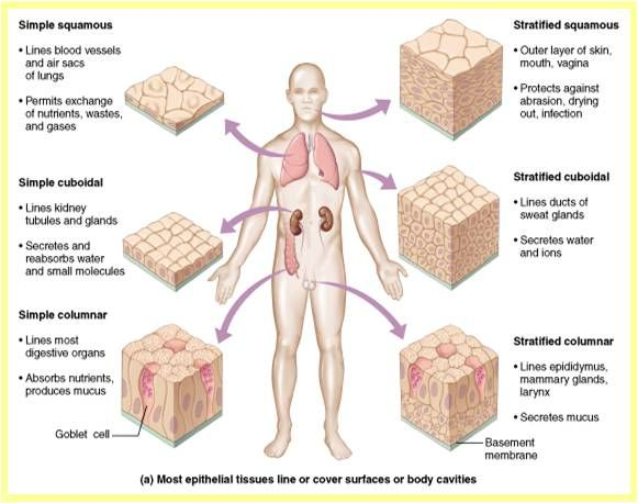 epithelial tissue quiz | These are the covering for our body. Epithelial tissues protect our ...