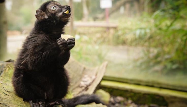 Lémurien au Parc zoologique et botanique à #Mulhouse #Alsace