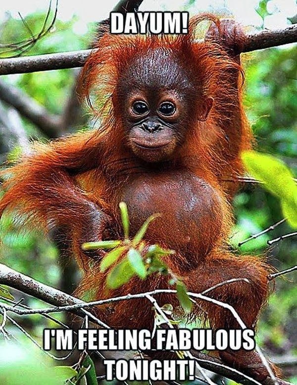 Funny animal pictures of Orangutang who feels absolutely fabulous.