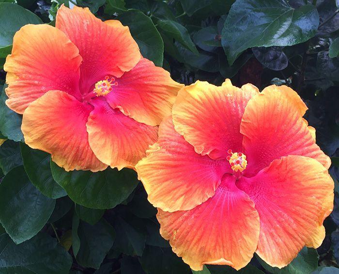 Tropical Hibiscus Fiji Sunset Hibiscus Hibiscus Plant Flower Pots