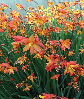 "Crocosmia, Orange Pekoe. Burpee.com Zone 5-9, reblooming, full sun, 25""-30"" tall"