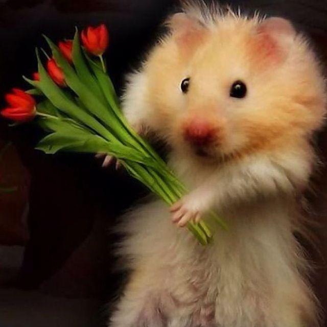 gentleman hamster