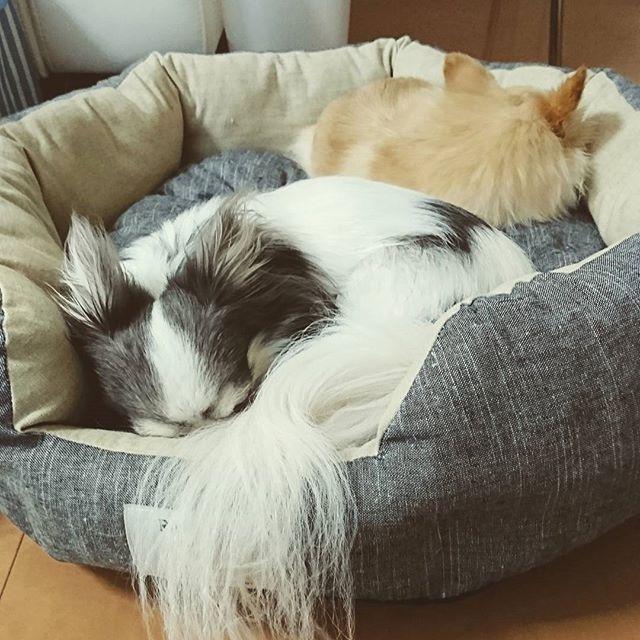 リビング用のベッドを新しいものにしました🎵 大きめサイズにして一緒に寝て欲しいなぁと思ったら、ちゃんと寝てくれました😊 でも、この時だけでしたが💦 あまり仲良くないので仕方ないか😅  #チワワ #ロングコートチワワ #chihuahua  #多頭飼い #チワワ部  #愛犬 #犬用ベッド