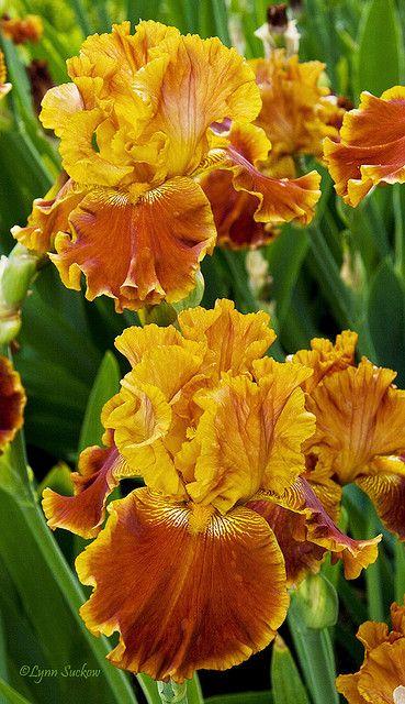 ❁ Tall Bearded #Iris.                       http://www.roanokemyhomesweethome.com