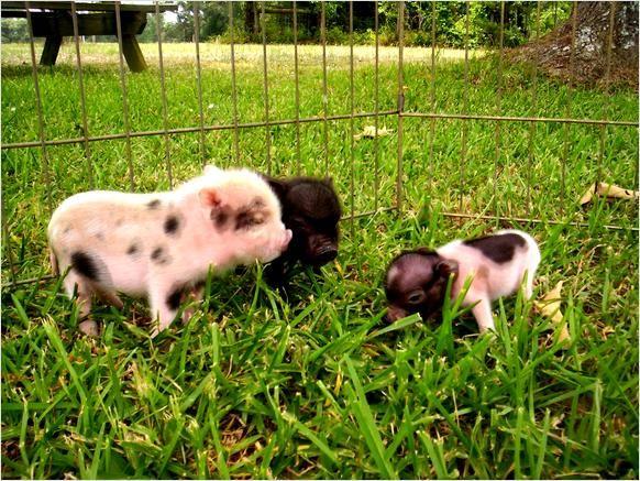 Miniature Pigs | Micro Mini Pigs For Sale - Crockett, Texas