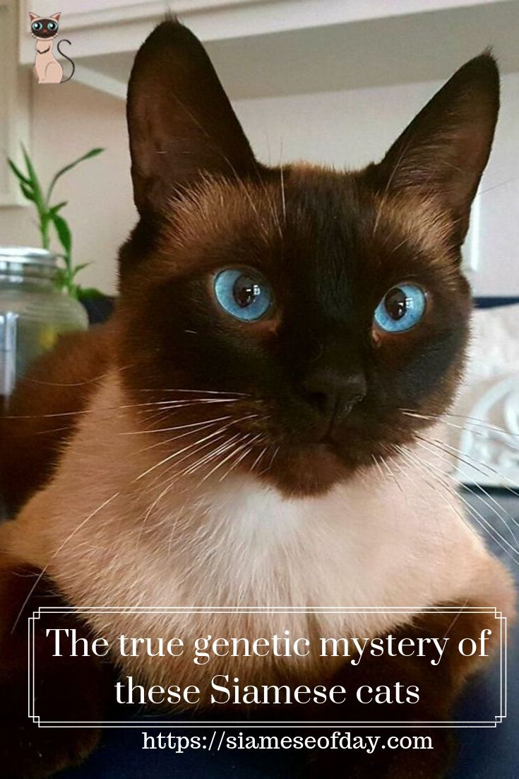 Royal Siamese Cat Mysterious & History Siamese