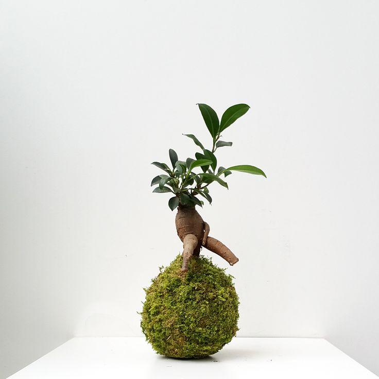 kokedama gege ikebanart kokedamas paris les jardins. Black Bedroom Furniture Sets. Home Design Ideas