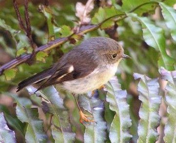 Tomtit, Female - Endemic Native NZ Bird