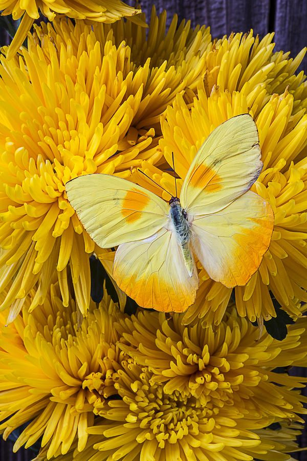 Yellow Butterfly On Yellow Mums Photograph by Garry Gay - Yellow Butterfly On Yellow Mums Fine Art Prints and Posters for Sale