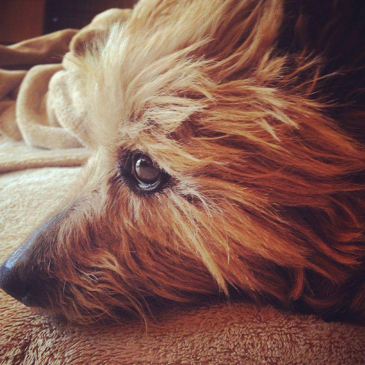 My sweetie Fossie, the Bossie Aussie.....Australian terrier