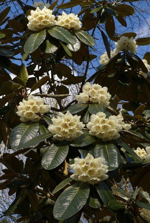 Rododendron basilicum