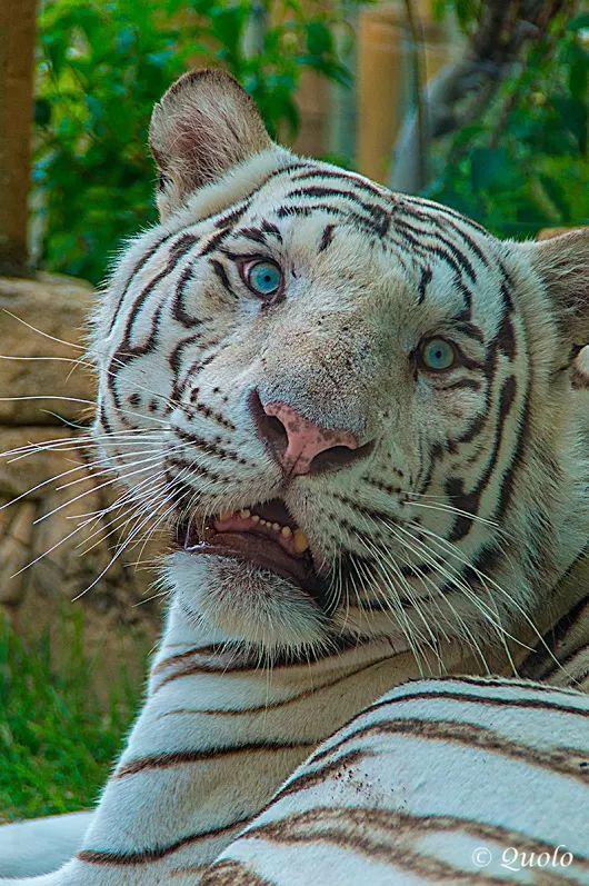 Tigre blanco de Bengala - Panthera tigris Es el felino más grande del mundo c...