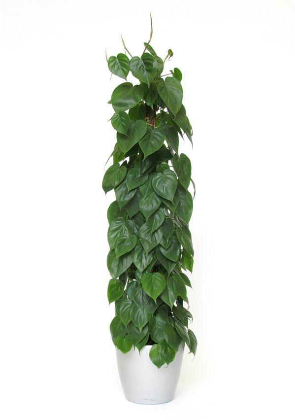Philodendron scandens totem alphaplantes horticulture - Plantas de interior sin luz ...