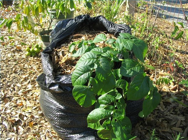 grow potatoes in a garbage bag---who knew? I had heard of tires before but never a trash bag. You can learn something new everyday on Pinterest. :)