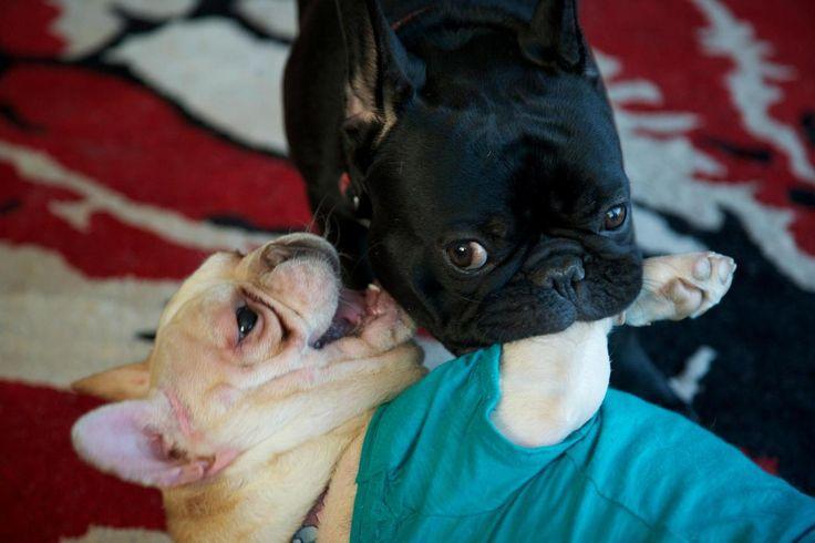 i love french bulldogs! :3