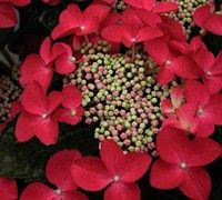 Lady In Red Hydrangea Picture
