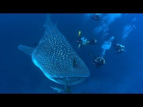 Shark video of Jonathan Bird's Blue Work (pinayhomeschooler) Discovery Channel has its own collection of shark videos