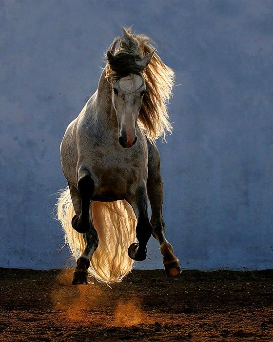 Another Andalusian by Wojek.  Love it.