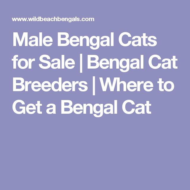 Male Bengal Cats for Sale | Bengal Cat Breeders | Where to Get a Bengal Cat