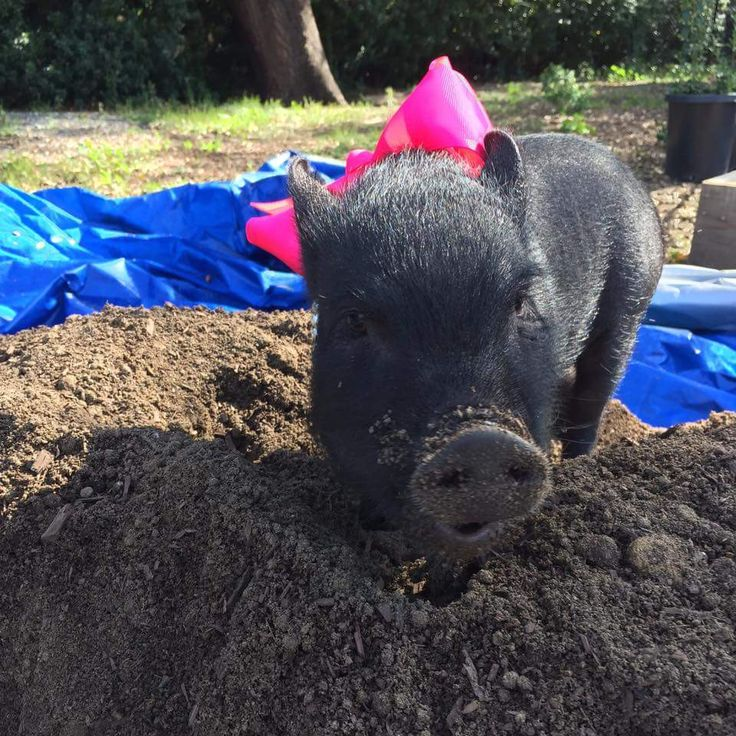 """Sandbox or Sand pit: A sand box is a great enrichment activity for pigs. They enjoy rooting around in the soft sand. Be sure to supervise your pig to avoid eating the sand. You can hide treats like popcorn or cheerios in the sand and watch them """"treasure hunt"""". Pigs have a very keen sense of smell, hiding treats in the sand allows them to use that super power and satisfy their natural need to root and forage for food."""