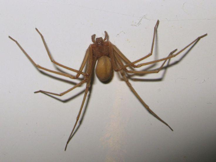 #Mordu par une araignée-violoniste, il échappe de peu à l'amputation - Le Parisien: Le Parisien Mordu par une araignée-violoniste, il…