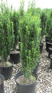 Sky Pencil- 6 feet tall, narrow areas along a wall, on either side of an entrance, in containers, or planted as a privacy screen or living privacy fence.