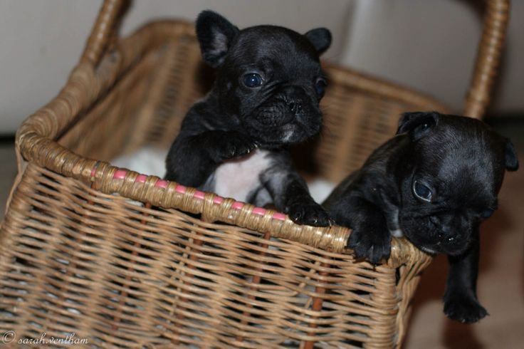 Escaping the photographer!! Frenchies