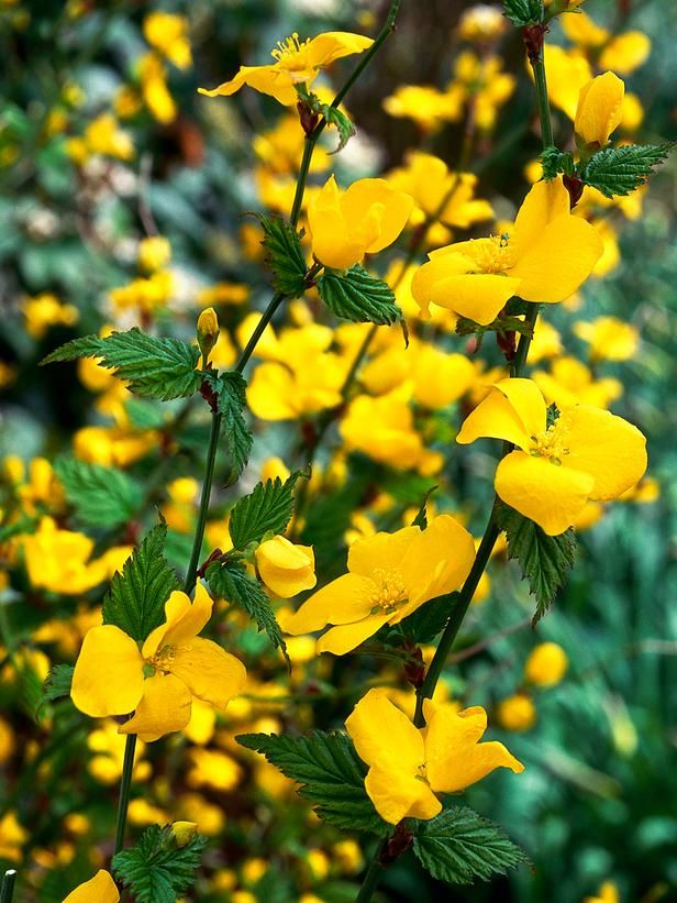 69 best images about the drought tolerant yard on for Garden trees with yellow flowers