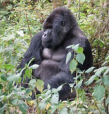 The mountain gorilla (Gorilla beringei) is the largest of the four gorilla subspecies. Its natural range in the highlands of east-central Africa consists of two relatively small areas, a factor that has made it extremely vulnerable to a variety of human-related threats. Ongoing wars and poverty in the region have facilitated the illegal hunting of gorillas as well as illegal timber harvesting that has further reduced the mountain gorilla's habitat. Fewer than 700 are known to exist in the…
